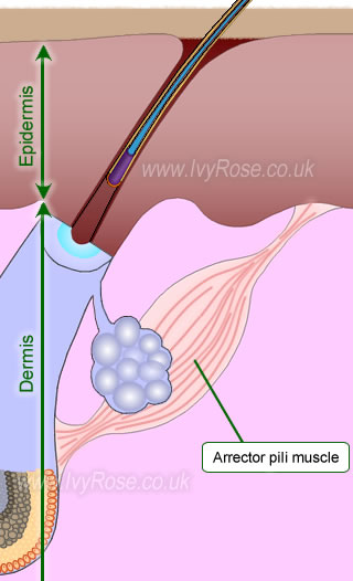 Arrector pili muscle attached to hair follicle