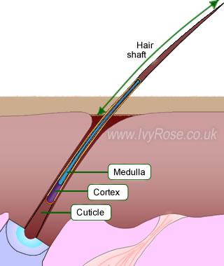 Cuticle of hair shaft