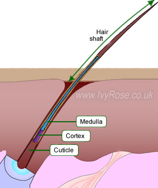 Medulla of hair shaft