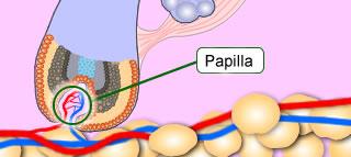 Papilla of Hair Follicle