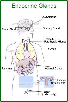 Location of the Human Endocrine Glands