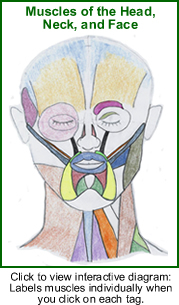 Interactive diagram of the muscles of the head, face and neck