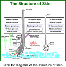 Diagram of the Structure of the Skin