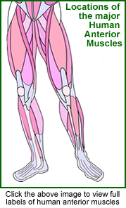 Diagram of anterior muscles.