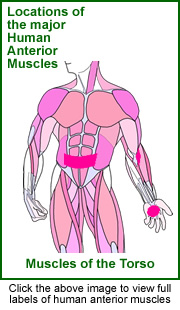 Diagram of posterior muscles.