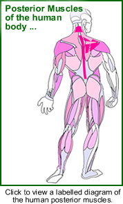 Diagram of Posterior Muscles of the Human Body