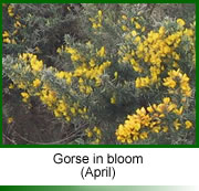 Gorse in flower (Bach Flower Remedy)