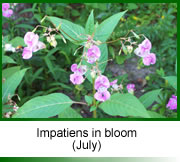 Impatiens in bloom, Oxfordshire 2003.