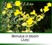 Mimulus in bloom, Oxfordshire 2003.