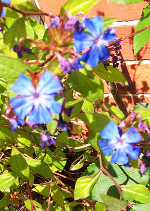 cerato flowers