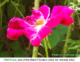Wild Rose is one of the flowers used to make a Bach Flower Remedy
