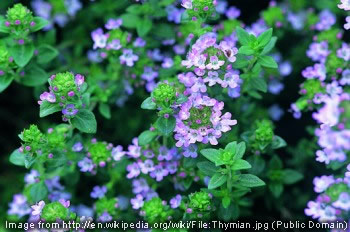 Thyme is one of many plants that have been used in herbal remedies over the years.